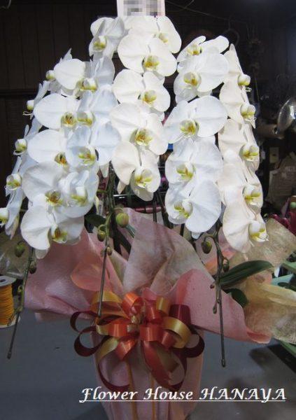 胡蝶蘭 鉢植え